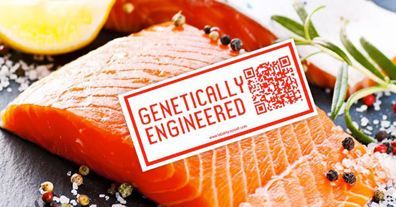 the benefits in consuming genetically modified salmon
